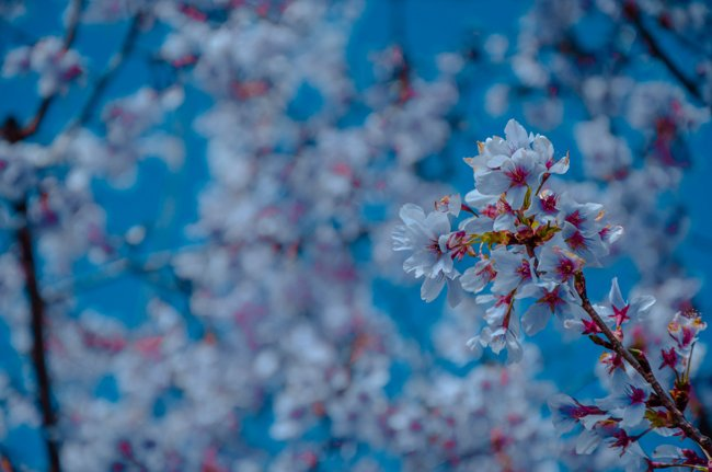 10 japan spring flowers worth travelling japan for travel on the brain 10 japan spring flowers worth travelling japan for sakura mightylinksfo