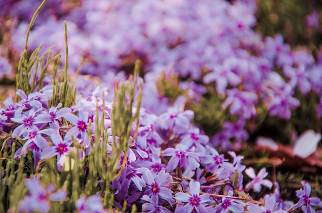 10 japan spring flowers worth travelling japan for travel on the brain japanese spring flowers pink moss phlox mightylinksfo