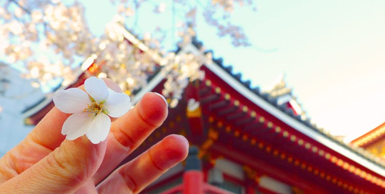 Jawdropping Cherry Blossoms at the Nagoya Temple