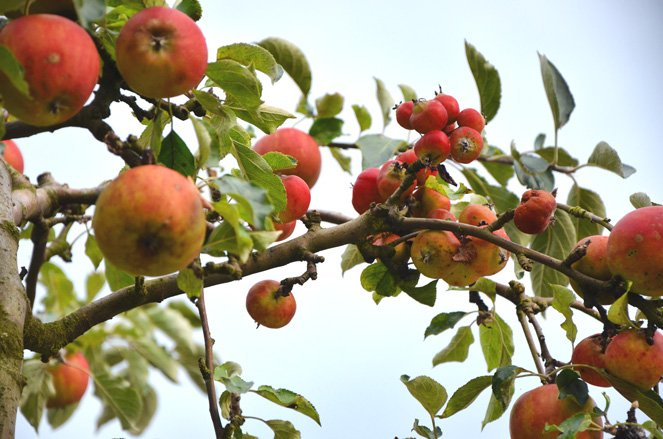 Altes Land in Germany - apples galore