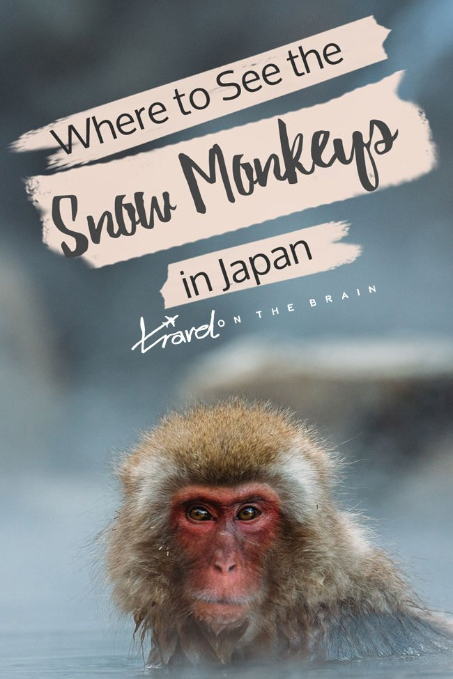 How to Get Close to the Snow Monkeys in Japan