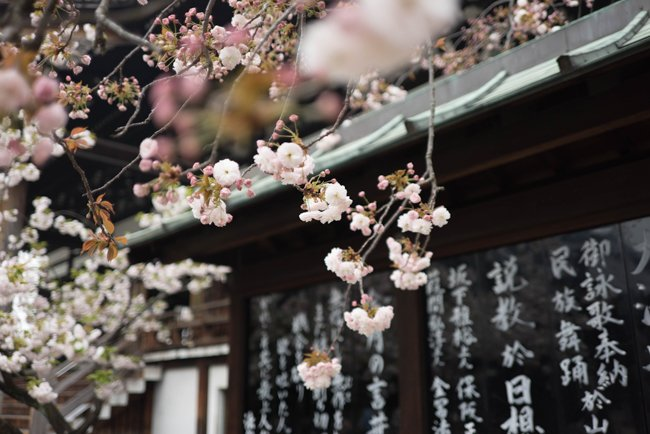 The Top 15 Epic Spots for Seeing Cherry Blossoms in Kyoto
