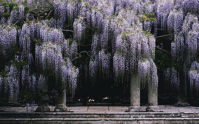Where to Admire the Japanese Wisteria Gardens