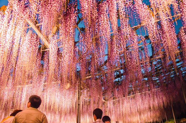 Where to Best Admire the Japanese Wisteria Gardens in 2018