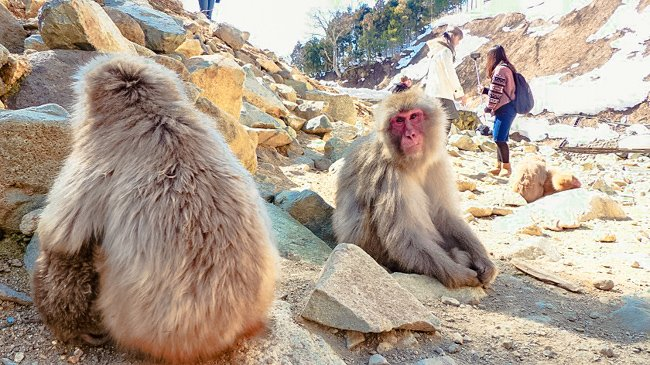 How to Get Close to the Snow Monkeys in Japan 0