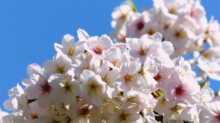 Best Cherry Blossom Watching Spots in Tokyo