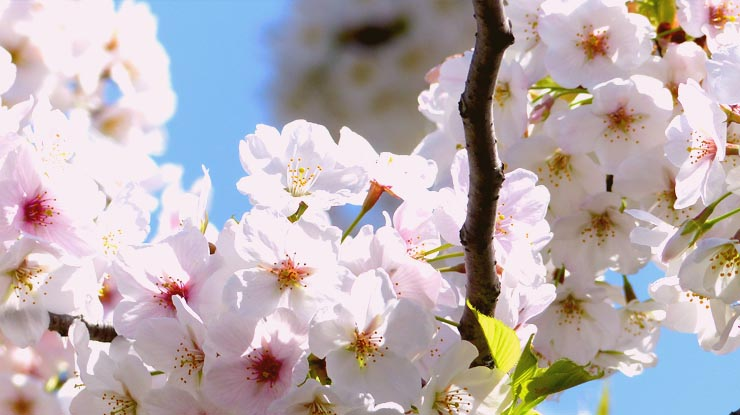Tokyo's Cherry Blossoms 3