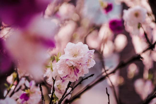 10 Japan Spring Flowers Worth Travelling Japan for - plum