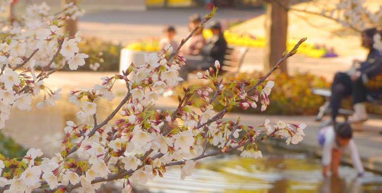 Jawdropping Cherry Blossom Parks