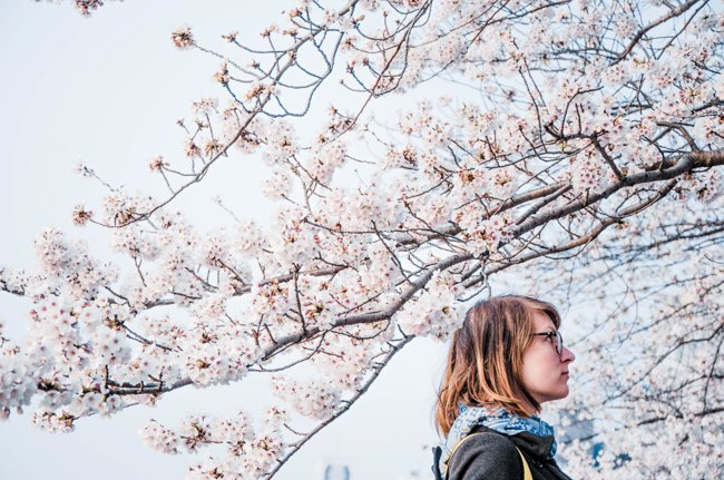 My Nomadic Life in South East Asia - Japan's cherry blossoms are epic