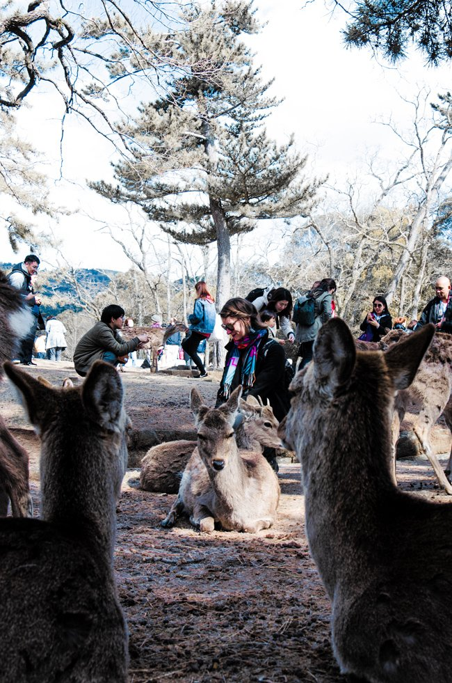 Japan photos - Nara deer